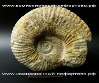 окаменелый молюск на подставке